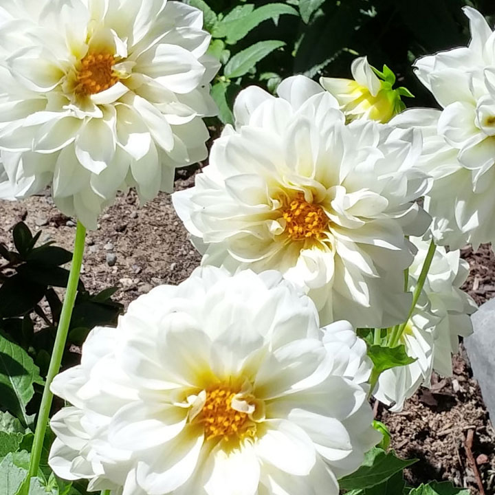 Dahlia's seem to last a long time and the honey bees like'm