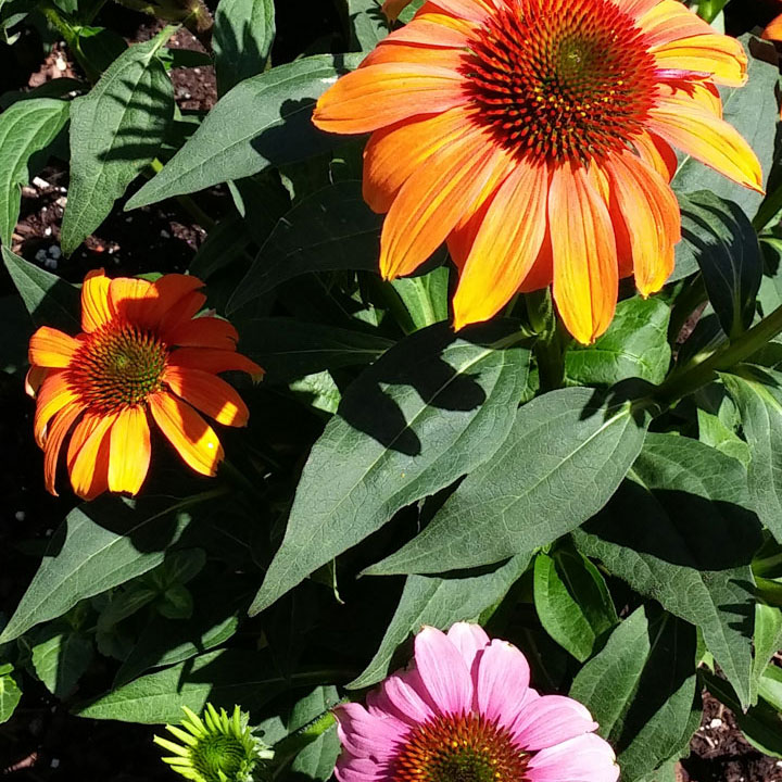 The Purple Coneflower plant that seems to prefer Orange, not Purple